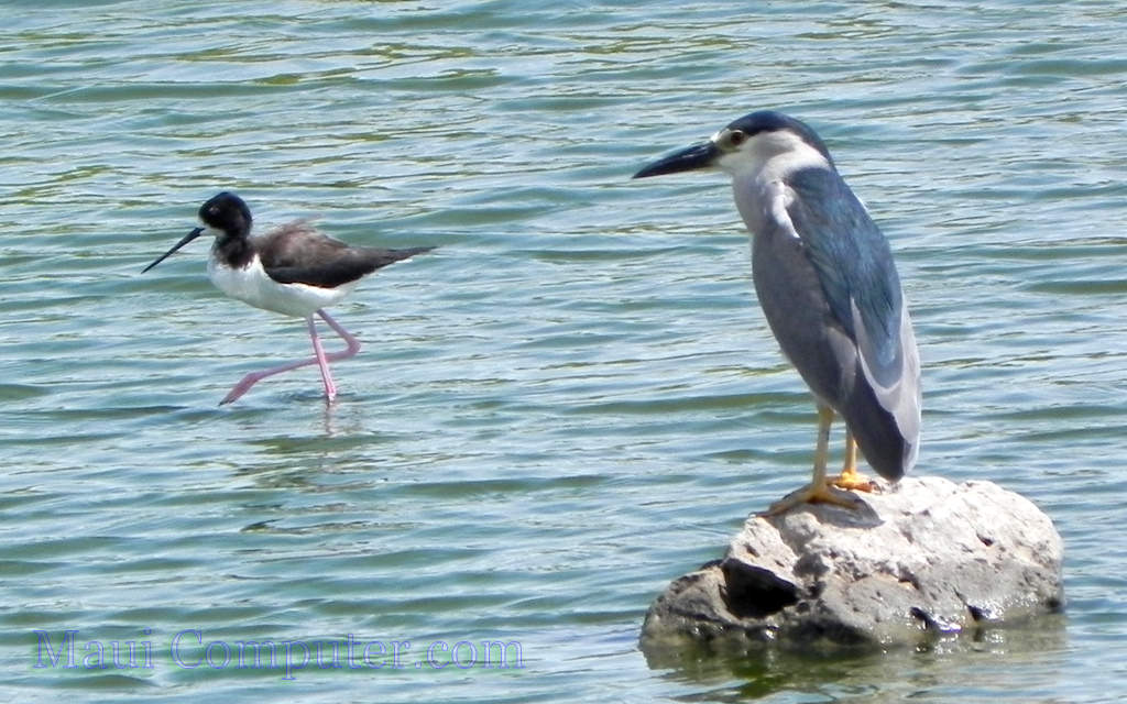 The A'eo and 'Auku'u (Stilt and Heron) enjoy catching fish and worms at Kealia Pond
