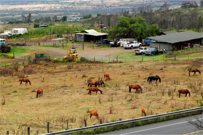 Upcountry Maui Horses
